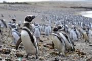 Более миллиона пингвинов на побережье Аргентины: видео