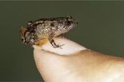 В Индии нашли лягушек, которые умещаются на ногте
