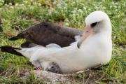 У самого старого альбатроса на планете родился птенец