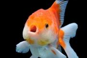 Рыбы поют хором и разными голосами