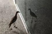 Птица-нарцисс стала звездой интернета