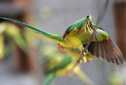 Попугаи «объели» производителей опиумного мака