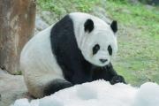 Почему панды черно-белые? Климат — одна из причин